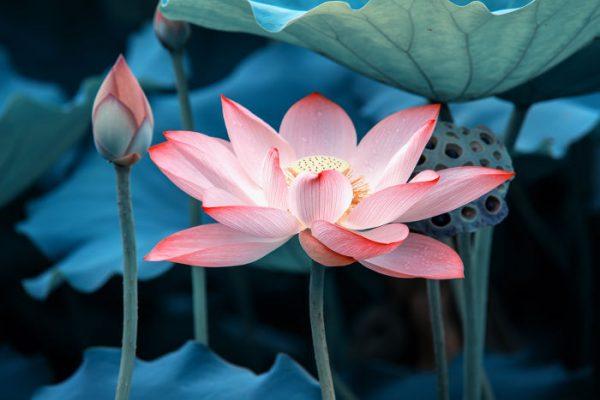 Lotus_posture_yoga_journal_mudra